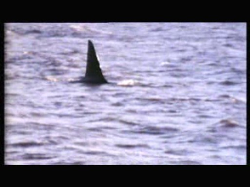Super 8 Stories: 'Dopey Dick' Killer Whale
